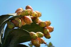kaktusowa gruszka kłująca Fotografia Royalty Free
