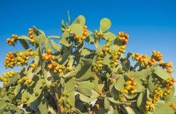 Kaktusowa kłująca bonkreta z owoc Obrazy Royalty Free