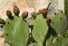 kaktusowa owoc Zdjęcia Stock