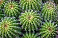 Kaktusowa roślina Zdjęcia Royalty Free