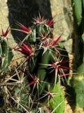 Kaktusowa roślina Obrazy Royalty Free
