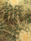 Kaktusowa roślina Zdjęcie Royalty Free