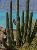 Kaktusowa roślina na morzu Cortez obrazy stock