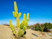 Kaktusowa rozmaitość, palmy pustynia Obrazy Royalty Free