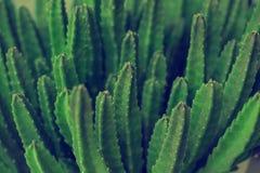 Kaktusowa Specie zbliżenia fotografia zdjęcie stock