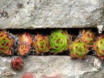 kaktusowa spirali wzrostu Obraz Royalty Free