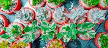Kaktusowa tłustoszowata roślina w kwiatu garnku, mieszkanie nieatutowy - Barwi brzmienie Zdjęcie Stock