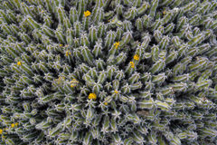Kaktusowa tło tekstura Zdjęcie Royalty Free