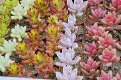 Kaktusowa tekstura Obrazy Royalty Free