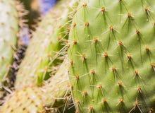 Kaktusowa tekstura Fotografia Royalty Free
