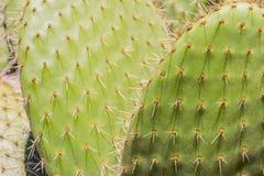 Kaktusowa tekstura Zdjęcia Stock