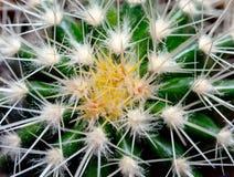 Kaktusowa tekstura Zdjęcie Royalty Free