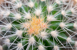 Kaktusowa tekstura Obraz Stock
