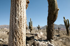Kaktusowa tekstura Fotografia Stock