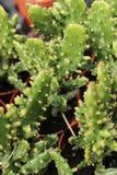 Kaktusowe euforbie w ogródzie zdjęcia stock