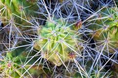 Spiny kaktus zdjęcia royalty free
