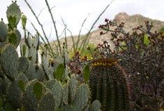 Kaktusowe rośliny południowi zachody Zdjęcia Stock