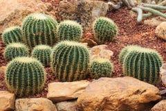 Kaktusowe rośliny, pustynne rośliny, natura Obraz Stock