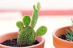 Kaktusowe rośliny w kwiatu garnkach na białym tła zakończeniu up _ Obrazy Stock