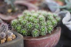 Kaktusowe rośliny Obraz Stock