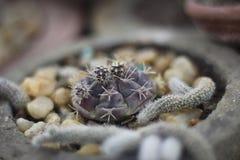 Kaktusowe rośliny Fotografia Stock