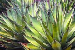 Kaktusowe rośliny Obraz Royalty Free