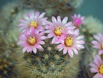 kaktusowego dasiaconta mammillaria zakwitnąć zdjęcie royalty free