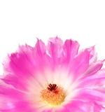 kaktusowego echinocereus kwiatu odosobniony biel Obrazy Stock