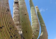 kaktusowego oplecionego saguaro uzbrojony Fotografia Royalty Free