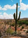 kaktusowego oplecionego saguaro uzbrojony Fotografia Stock