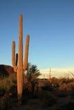 kaktusowego oplecionego saguaro uzbrojony Zdjęcia Royalty Free