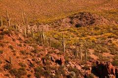 kaktusowego oplecionego saguaro uzbrojony Obrazy Royalty Free