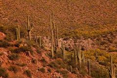 kaktusowego oplecionego saguaro uzbrojony Zdjęcia Stock