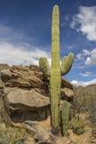 kaktusowego oplecionego saguaro uzbrojony Obraz Royalty Free