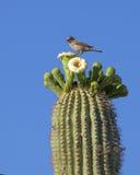 kaktusowego oplecionego saguaro uzbrojony zdjęcie royalty free
