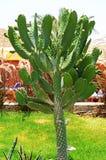 kaktusowej bonkrety kłujący drzewo Obrazy Stock