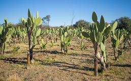 Kaktusowej owoc lub kłującej bonkrety plantacja z wiele kaktusami wiosłuje w Omaruru, Namibia, afryka poludniowa Obraz Royalty Free