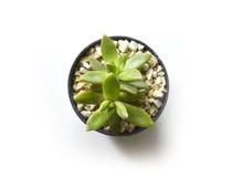 Kaktusowej rośliny garnka tłustoszowate rośliny Obrazy Stock