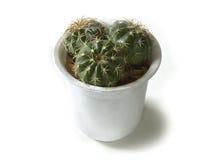 Kaktusowej rośliny garnka tłustoszowate rośliny Zdjęcia Stock