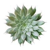Kaktusowej rośliny odgórny widok odizolowywający na białym tle, ścieżka fotografia stock