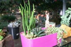 Kaktusowej rodziny rośliny w garnku fotografia royalty free
