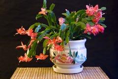 kaktusowi chrismas Zdjęcia Stock