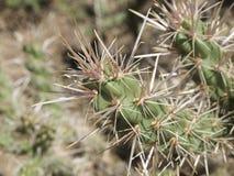 Kaktusowi ciernie Obrazy Stock