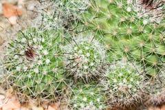 Kaktusowi igielni ostrzy kręgosłupy Fotografia Royalty Free