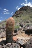 kaktusowi koty drapają szczytowego parka picacho Zdjęcie Royalty Free