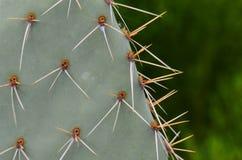 Kaktusowi kręgosłupy Zdjęcia Royalty Free