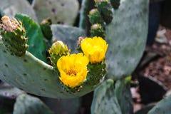 Kaktusowi kwiaty Żółty kaktusowy kwiatu zakończenie obraz royalty free