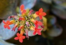 Kaktusowi kwiaty Zdjęcie Royalty Free