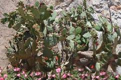 Kaktusowi Kwiaty i Oleandery Provence Obrazy Royalty Free