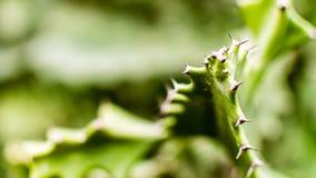 Kaktusowi liście Zdjęcie Royalty Free